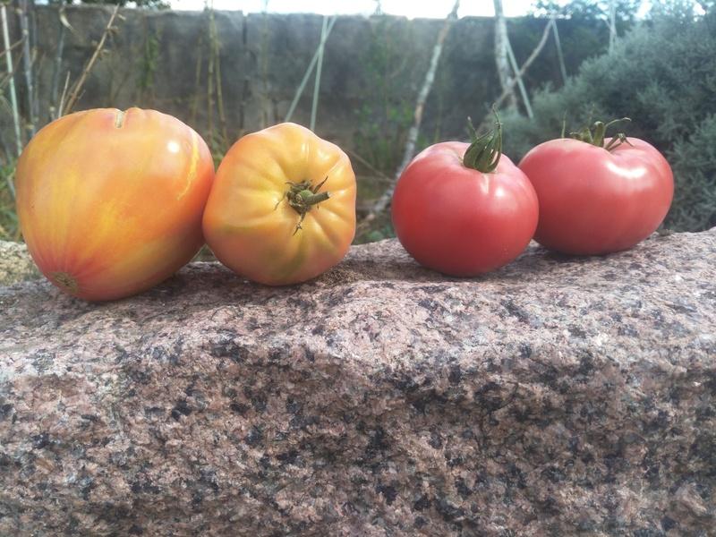 Tomatenblog 2020